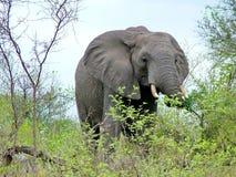 Kruger Nationaal Park, Zuid-Afrika, 11 November, 2011: Olifant op savanneweiden Royalty-vrije Stock Afbeelding