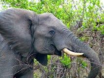 Kruger Nationaal Park, Zuid-Afrika, 11 November, 2011: Olifant op savanneweiden Stock Afbeeldingen