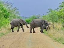 Kruger Nationaal Park, Zuid-Afrika, 11 November, 2011: Olifanten die landweg kruisen Stock Afbeelding