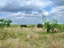 Kruger Nationaal Park, Zuid-Afrika, 11 November, 2011: Olifanten op savanneweiden Royalty-vrije Stock Foto's