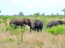 Kruger Nationaal Park, Zuid-Afrika, 11 November, 2011: Olifanten op savanneweiden Stock Afbeelding