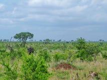 Kruger Nationaal Park, Zuid-Afrika, 11 November, 2011: Olifanten op savanneweiden Stock Afbeeldingen
