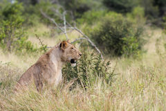 Kruger national 2013/03/29. Lioness (panthera leo) sitting in the long grass Stock Photo