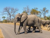 Elephant herd in Kruger National Park crossing a road. Elephant herd - The leader First crossing road in Kruger National Park stock images