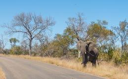 King Elephant crossing road in Kruger National Park. King Elephant - The leader First crossing road in Kruger National Park royalty free stock image