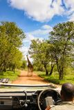 Kruger National Park - 2011: A giraffe in the shade royalty free stock photography