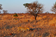 Kruger National Park, Limpopo and Mpumalanga provinces, South Africa Royalty Free Stock Images