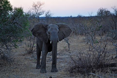 Kruger National Park, Limpopo and Mpumalanga provinces, South Africa Royalty Free Stock Image