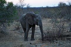 Kruger National Park, Limpopo and Mpumalanga provinces, South Africa Stock Images