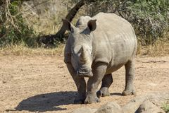 In the Kruger National Park royalty free stock photo
