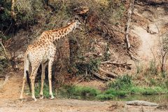 Free Kruger National Park South Africa Stock Photo - 133307270