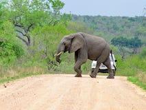 Kruger National Park, South Africa, November 11, 2011: Elephant crossing dirt road Stock Photos