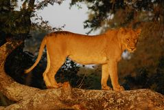 Kruger Park früh morgens Stockbilder