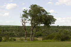 kruger park narodowy Zdjęcia Royalty Free