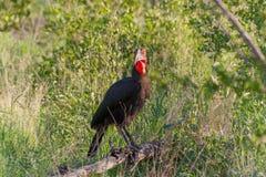 Kruger park narodowy, Mpumalanga, Południowa Afryka obrazy stock