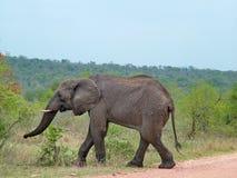 Kruger park narodowy, Południowa Afryka, Listopad 11, 2011: Słoń na sawanna obszarach trawiastych Fotografia Royalty Free