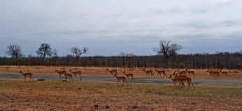 Kruger parka narodowego, Limpopo i Mpumalanga prowincje, Południowa Afryka Fotografia Stock