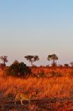 Kruger parka narodowego, Limpopo i Mpumalanga prowincje, Południowa Afryka Zdjęcia Stock