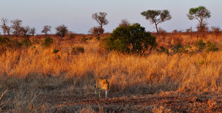 Kruger parka narodowego, Limpopo i Mpumalanga prowincje, Południowa Afryka Fotografia Royalty Free