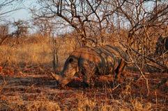Kruger parka narodowego, Limpopo i Mpumalanga prowincje, Południowa Afryka Zdjęcia Royalty Free