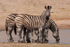 Kruger-Parkzebras Lizenzfreies Stockbild