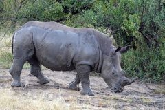 Kruger Rhinoceros Royalty Free Stock Images