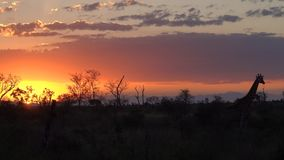 Kruger-Sonnenuntergang mit Giraffe stockfoto