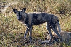 Kruger Wilde hond royalty-vrije stock afbeelding