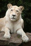 Krugeri bianco di Leo della panthera del leone Fotografia Stock Libera da Diritti