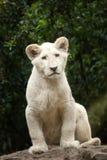 Krugeri bianco di Leo della panthera del leone Fotografie Stock Libere da Diritti