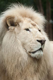 Krugeri bianco di Leo della panthera del leone Fotografia Stock