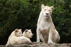 Krugeri bianco di Leo della panthera del leone Fotografie Stock