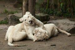 Krugeri bianco di Leo della panthera del leone Immagini Stock Libere da Diritti