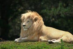 Krugeri blanco de leo del Panthera del león Imagen de archivo libre de regalías