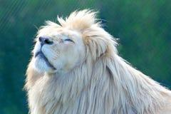 Krugeri blanco de leo del Panthera del león fotos de archivo libres de regalías