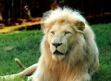Krugeri surafricano de leo del Panthera del león que se relaja en un prado en el PARQUE ZOOLÓGICO foto de archivo libre de regalías