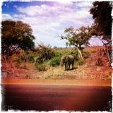 Krugerpark Safari Elephant Stock Afbeelding