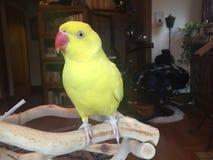 Kruid de vogel met kerrie Royalty-vrije Stock Foto