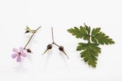 Kruid Robert (Geraniumrobertianum, Robertiella-robertiana) Royalty-vrije Stock Afbeeldingen