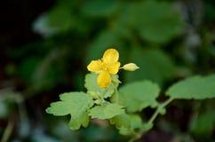 Kruidachtige bloem Stock Foto's