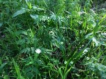 Kruidachtige textuur - jonge sappige netel onder de hoge stammen van groen gras Elymus repens - hoogste mening Weide wild onkruid stock afbeeldingen