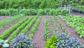Kruiden en bladwortelgewassen die in een tuin groeien Stock Foto's