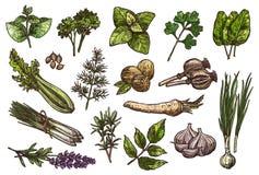 Kruiden, kruid en specerijschets van voedselontwerp Stock Foto