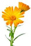 Kruiden: Twee calendulabloemen Royalty-vrije Stock Afbeelding