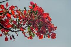 Kruidnagel (Syzygiearomaticum) Royalty-vrije Stock Fotografie