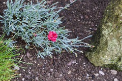 Kruidnagelroze of anjer (Dianthus-caryophyllus) stock afbeeldingen