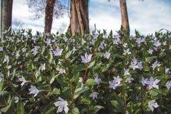 Kruipende Bloemen Stock Afbeeldingen