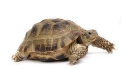 Kruipende geïsoleerde schildpad Stock Afbeeldingen