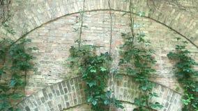 Kruipende groene installatie op een bakstenen muur Hoge bakstenen muur met klimop stock videobeelden