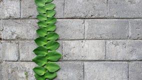Kruipende installatie bij concrete baksteen Royalty-vrije Stock Foto